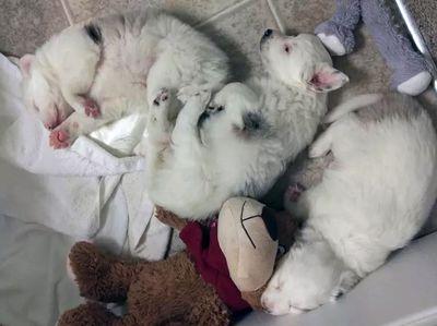 Three puppies sleeping together