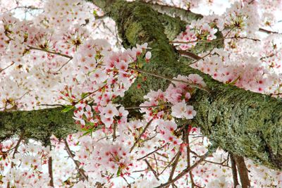 tight show of looking up view of tree in full bloom with cherry blossoms