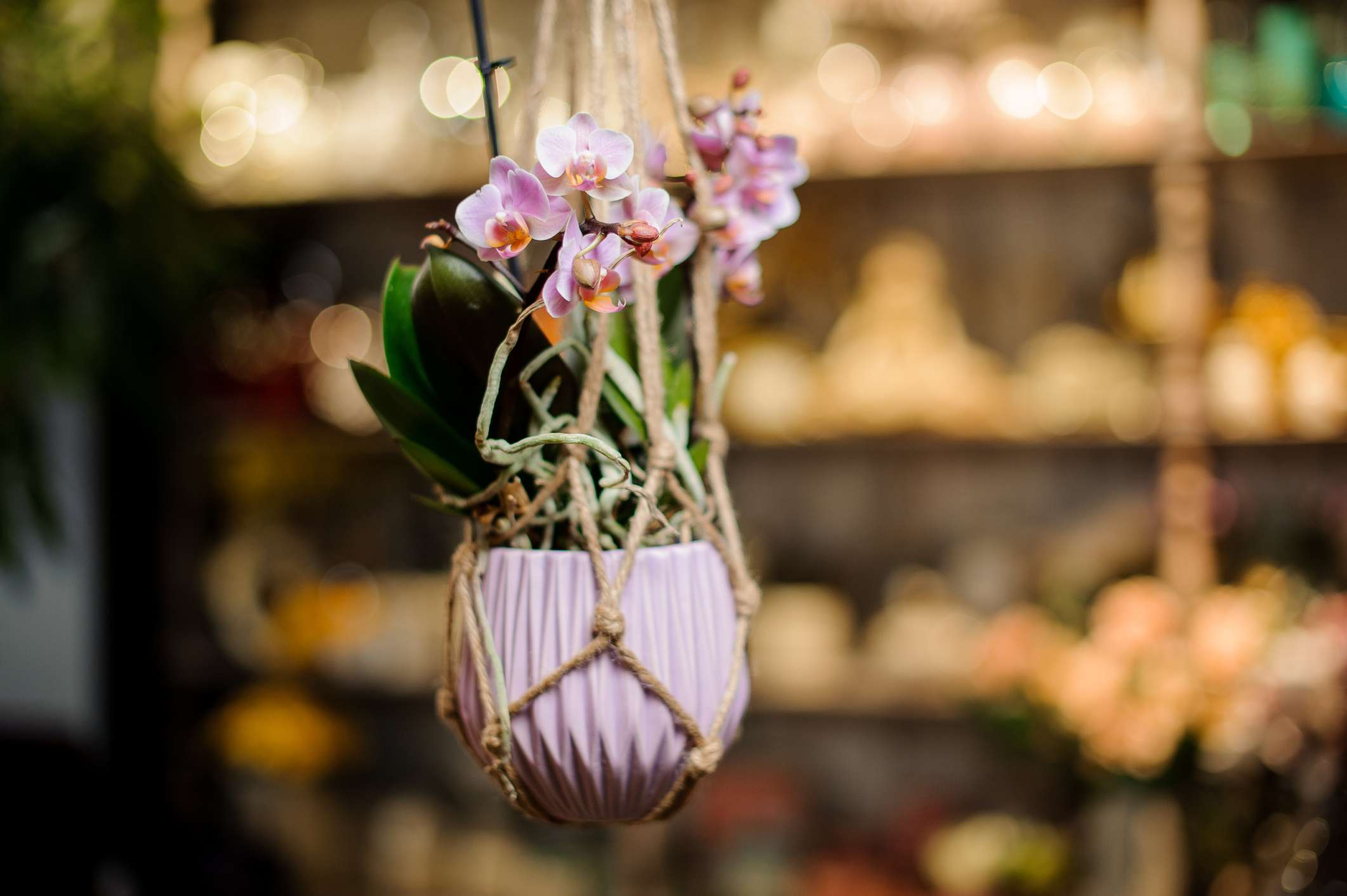 phalaenopsis orchid in bloom hanging from a macrame hanger.