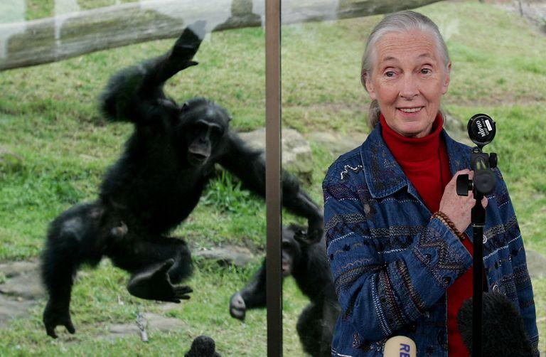 Dr Jane Goodall Visits Taronga Zoo's Chimpanzees