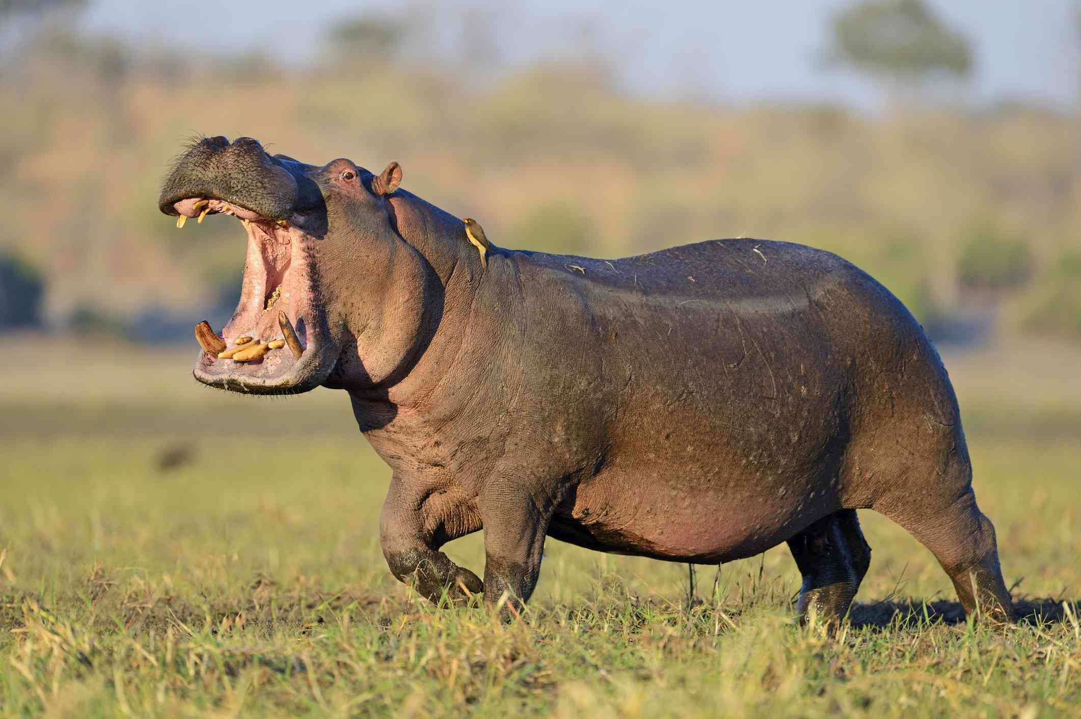 Close up of a wild hippo with its mouth open