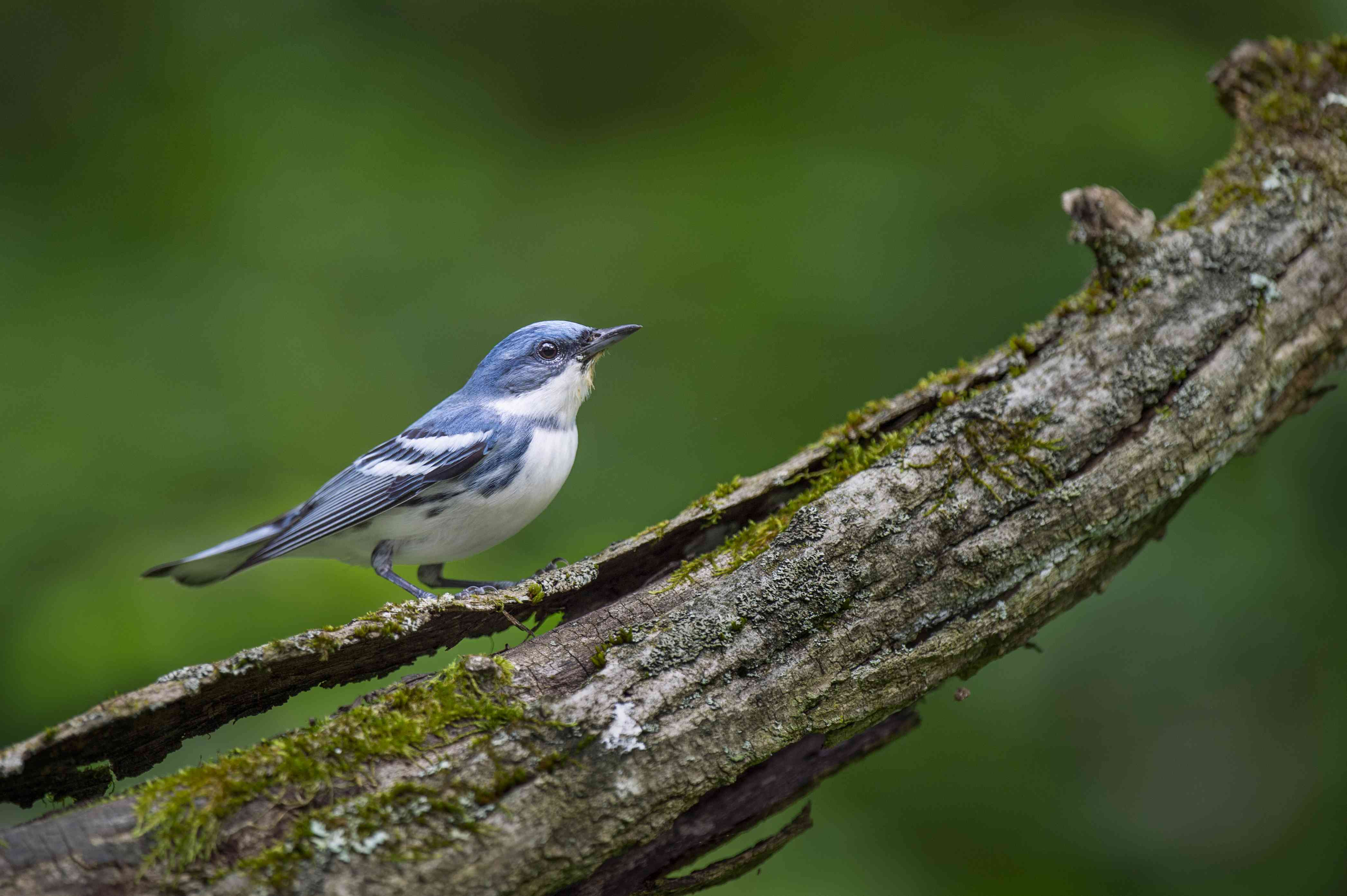 Cerulean warbler perched on a textured log
