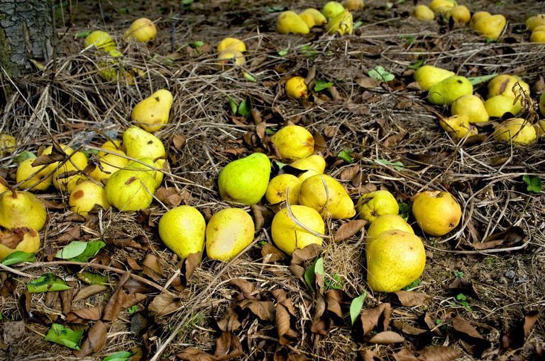 Pears that have fallen on the leafy ground