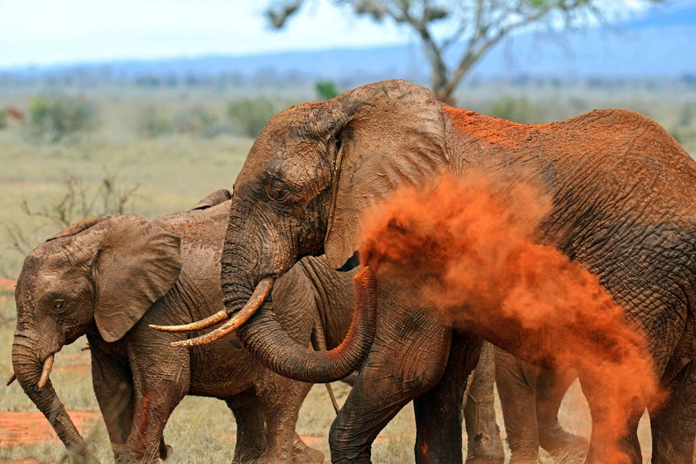 A larger elephant tossing red dirt on itself next to a smaller elephant