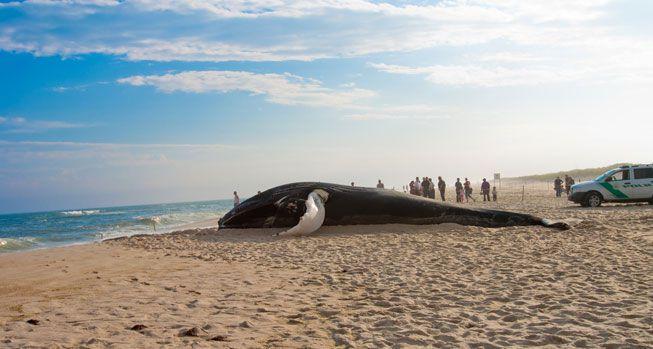 ¿Por qué las ballenas van a la playa?
