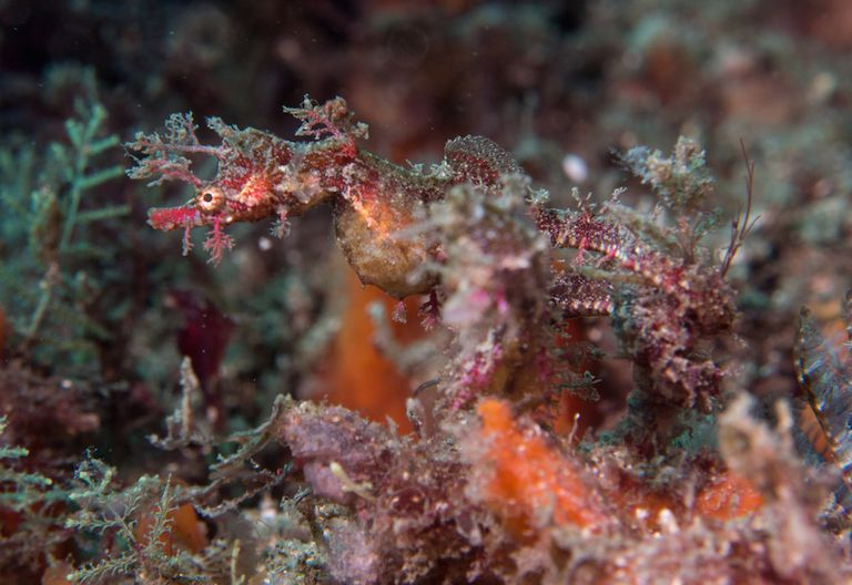 Close up of pygmy pipehorse