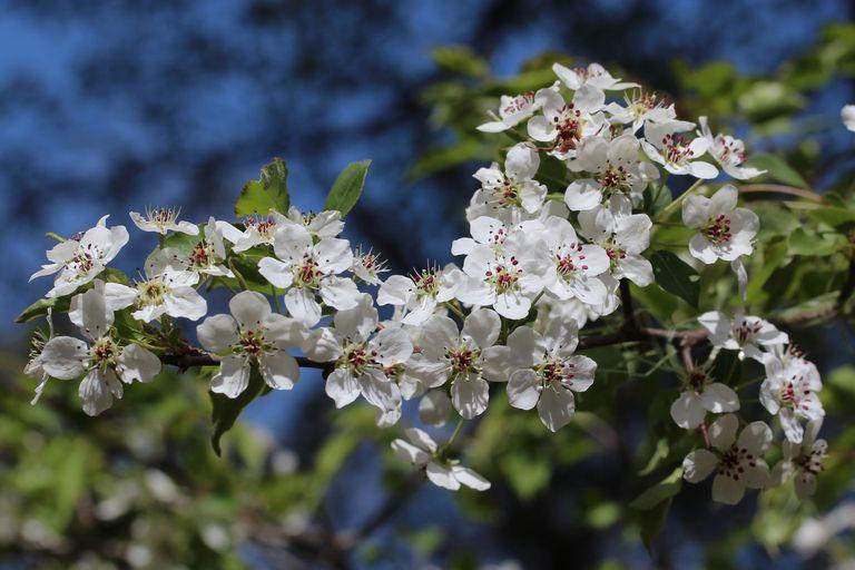 callery pear tree flowers