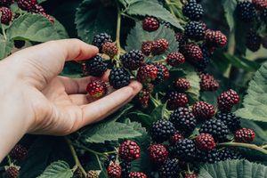 Hand touching blackberries ripening on the vine