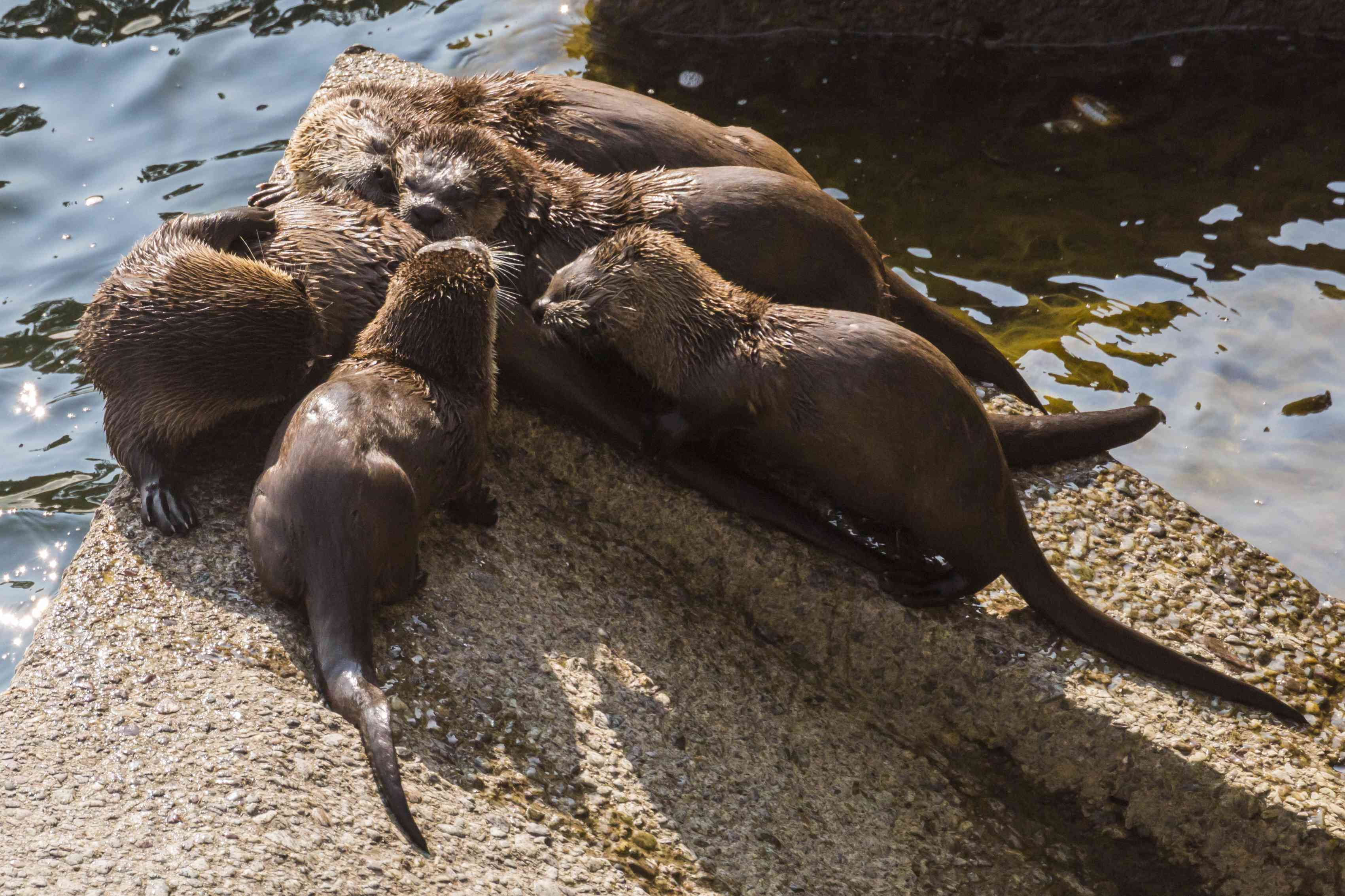 group of river otters on a rock