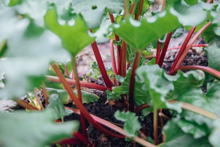 Rhubarb growing in the ground