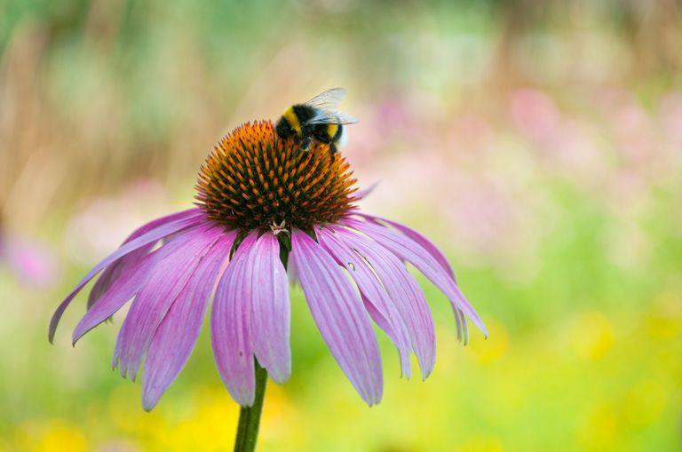 A bumblebee sucking nectar on an echinacea purpurea flower head