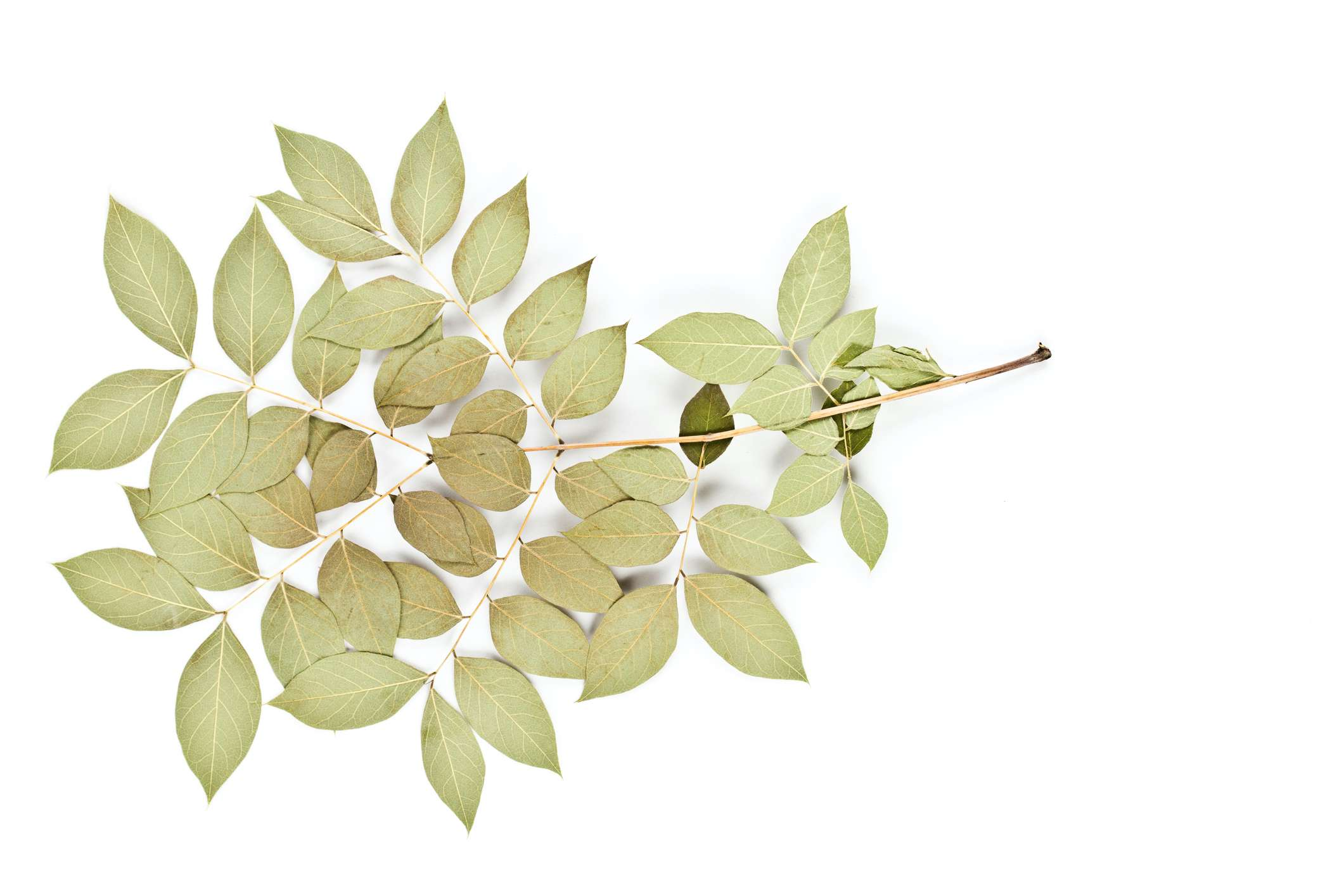 Kentucky Coffeetree Leaf on a white background.