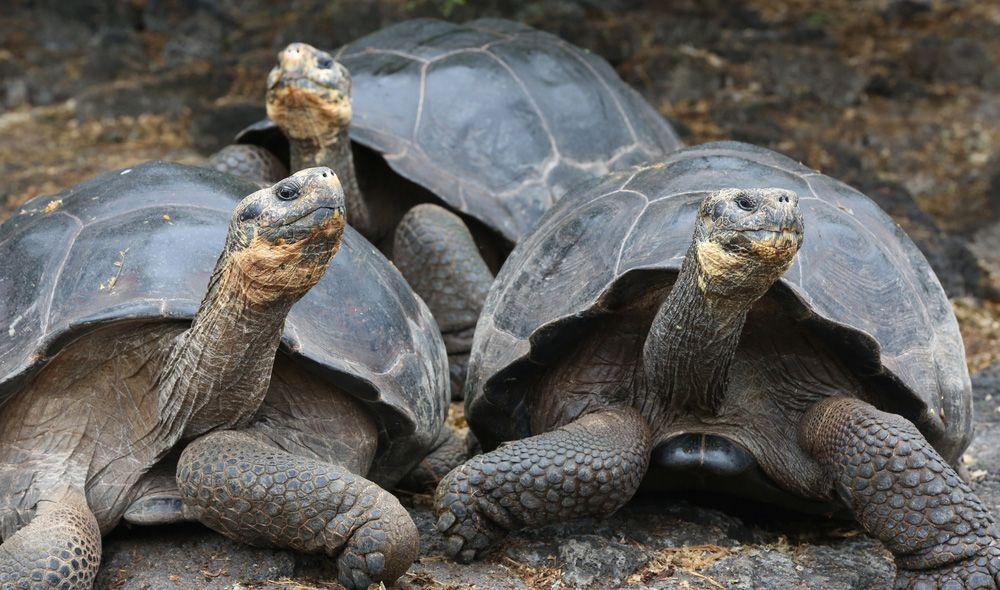 trio of large Galapagos tortoises standing on black rocky ground