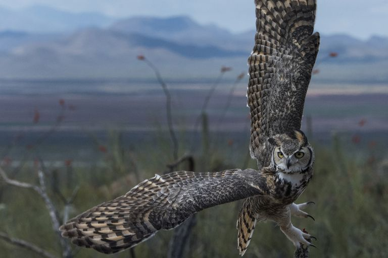 great horned owl flying at dawn with wings taking up whole photo