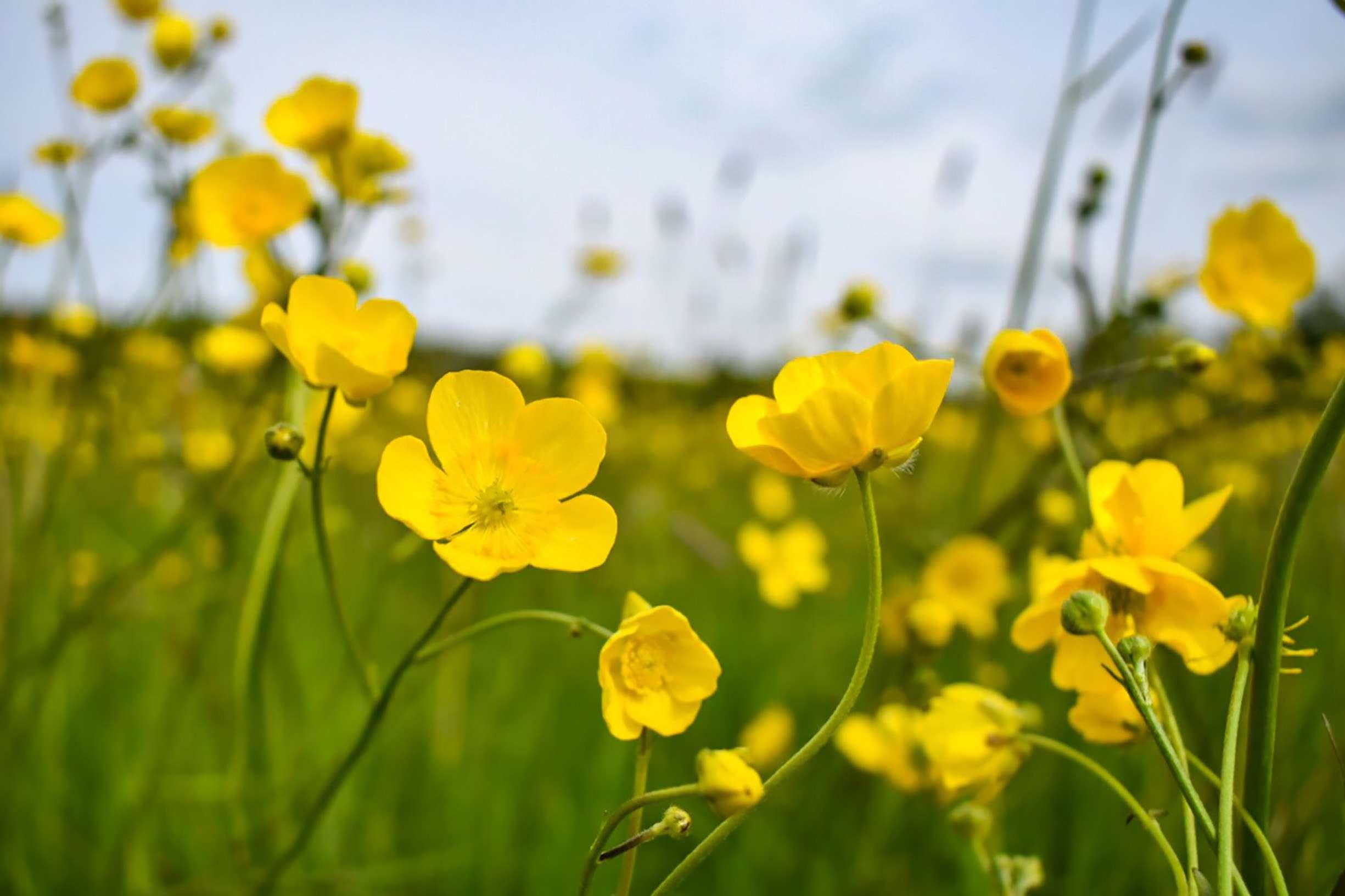 Field of yellow buttercups