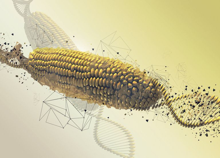 Genetically modified corn on the cob, illustration.