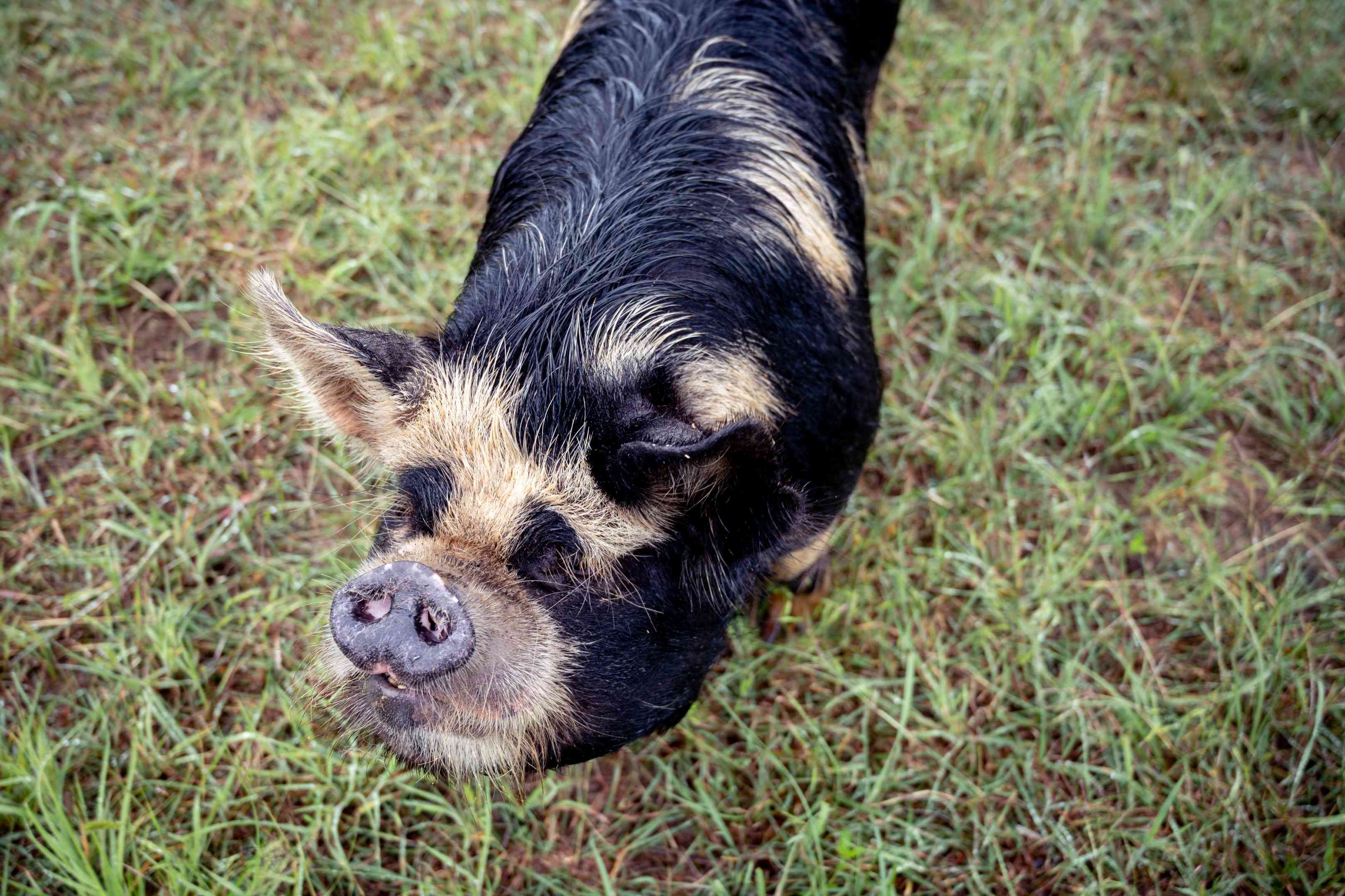 spotted brindle black and tan pig in grass gazes up at viewer