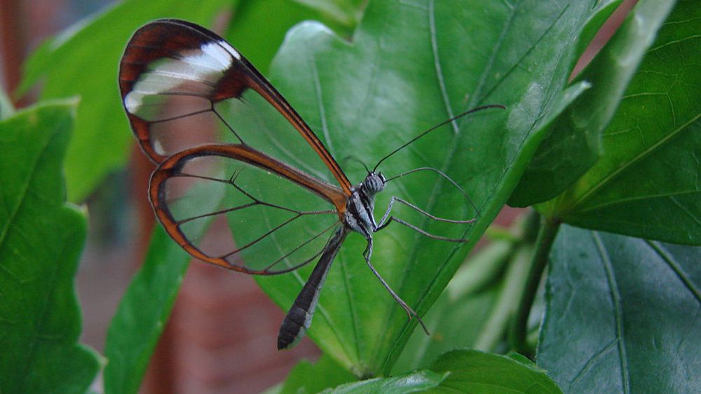A glass wing butterfly edged in brown on a green leaf