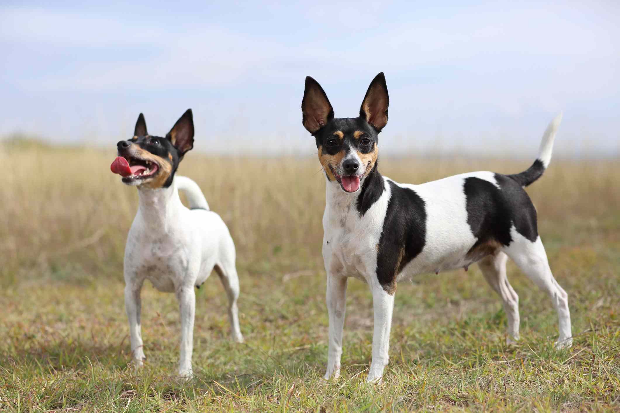 Pair of white, brown, and black toy fox terriers standing in a field