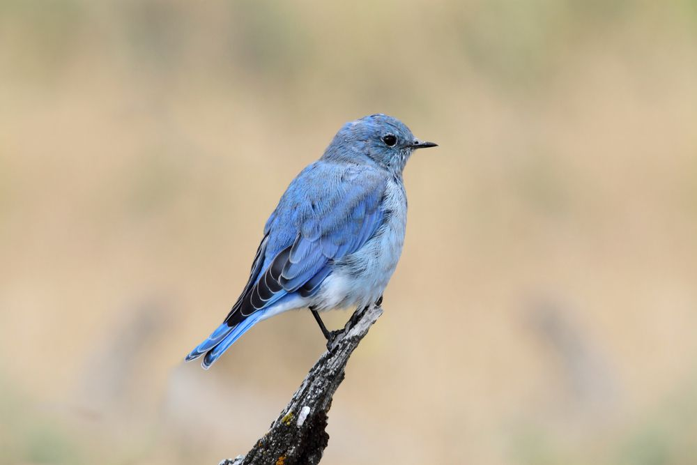 Male mountain bluebird in Yellowstone National Park