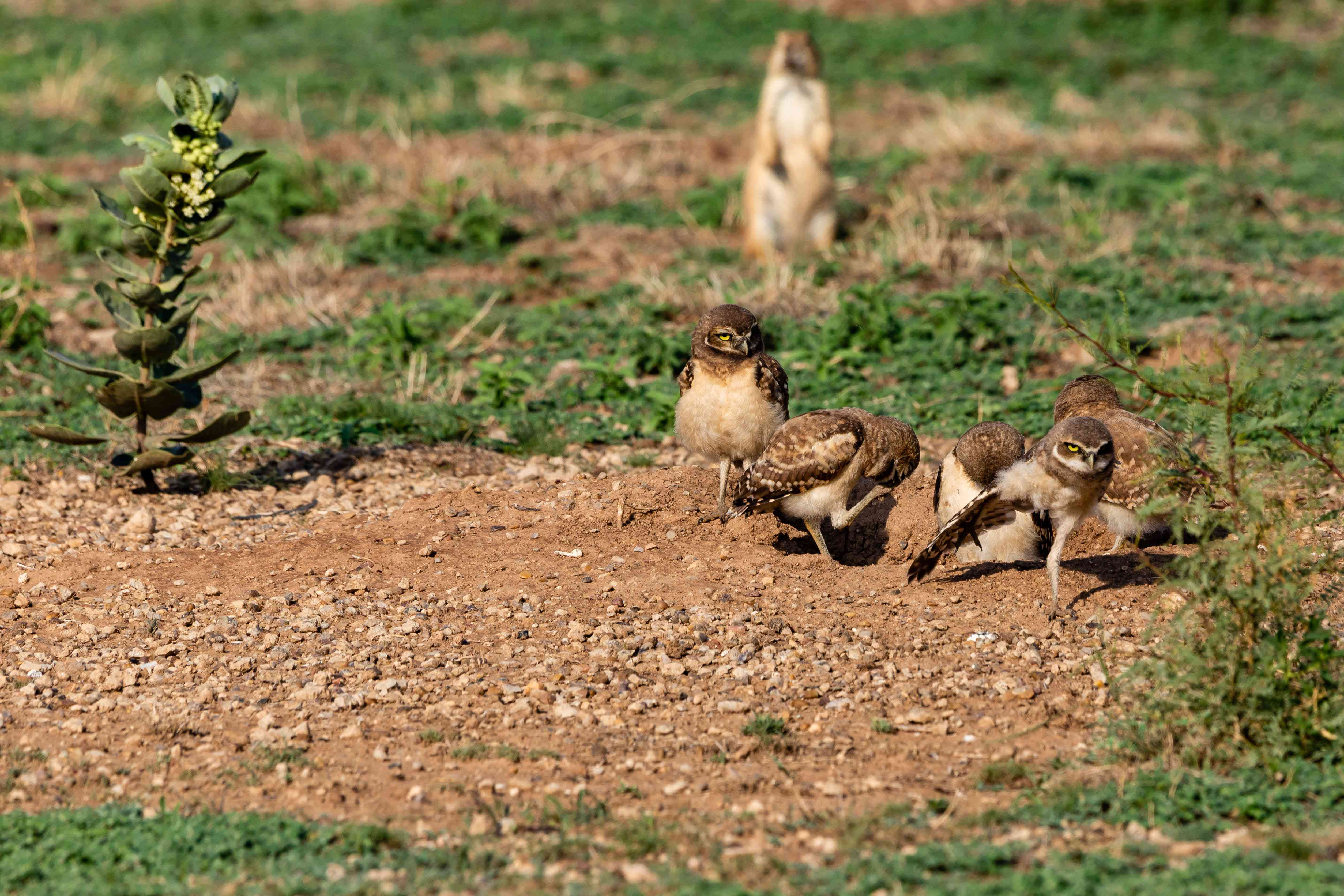 group of burrowing owls at prairie dog burrow entrance with prairie dog in background
