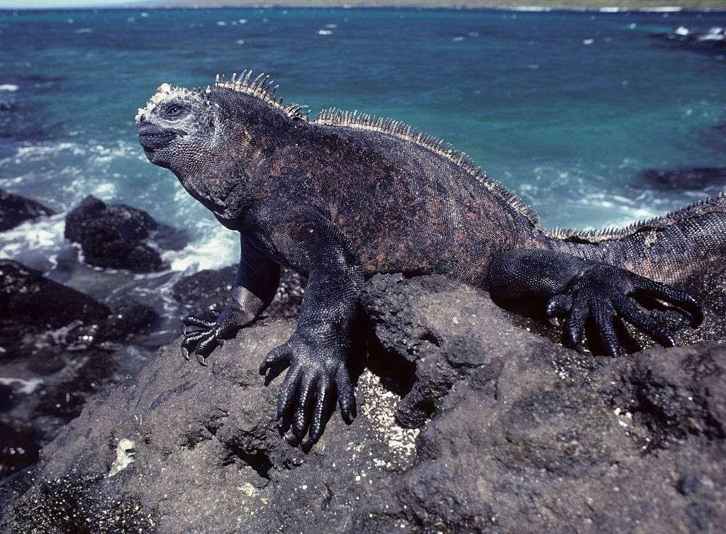 Galapagos marine iguana on rocks by the sea