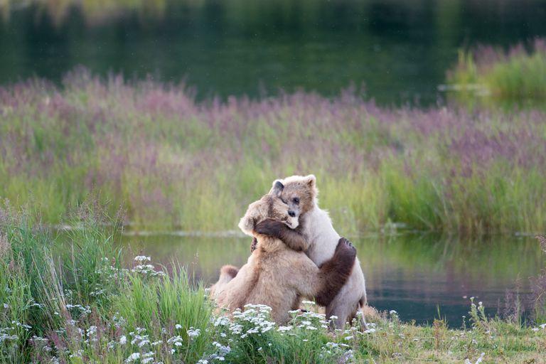 ¿Pertenecen los osos pardos al estado de Washington?