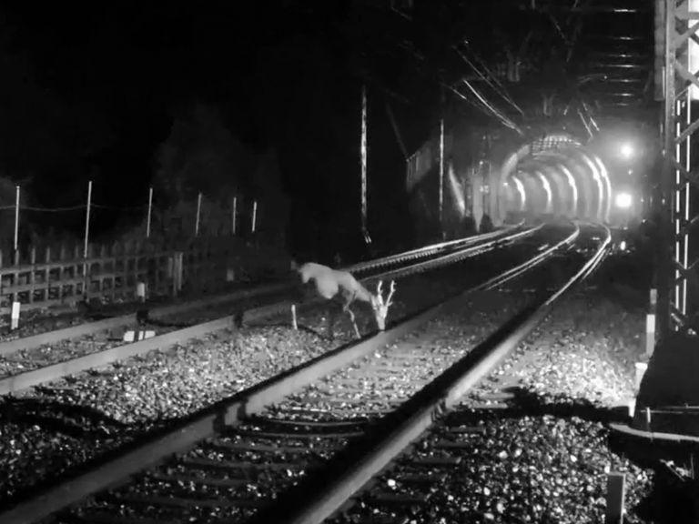 Los trenes japoneses salvan a los ciervos con efectos de sonido