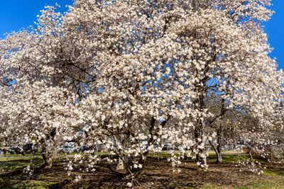 Dogwood tree, springtime