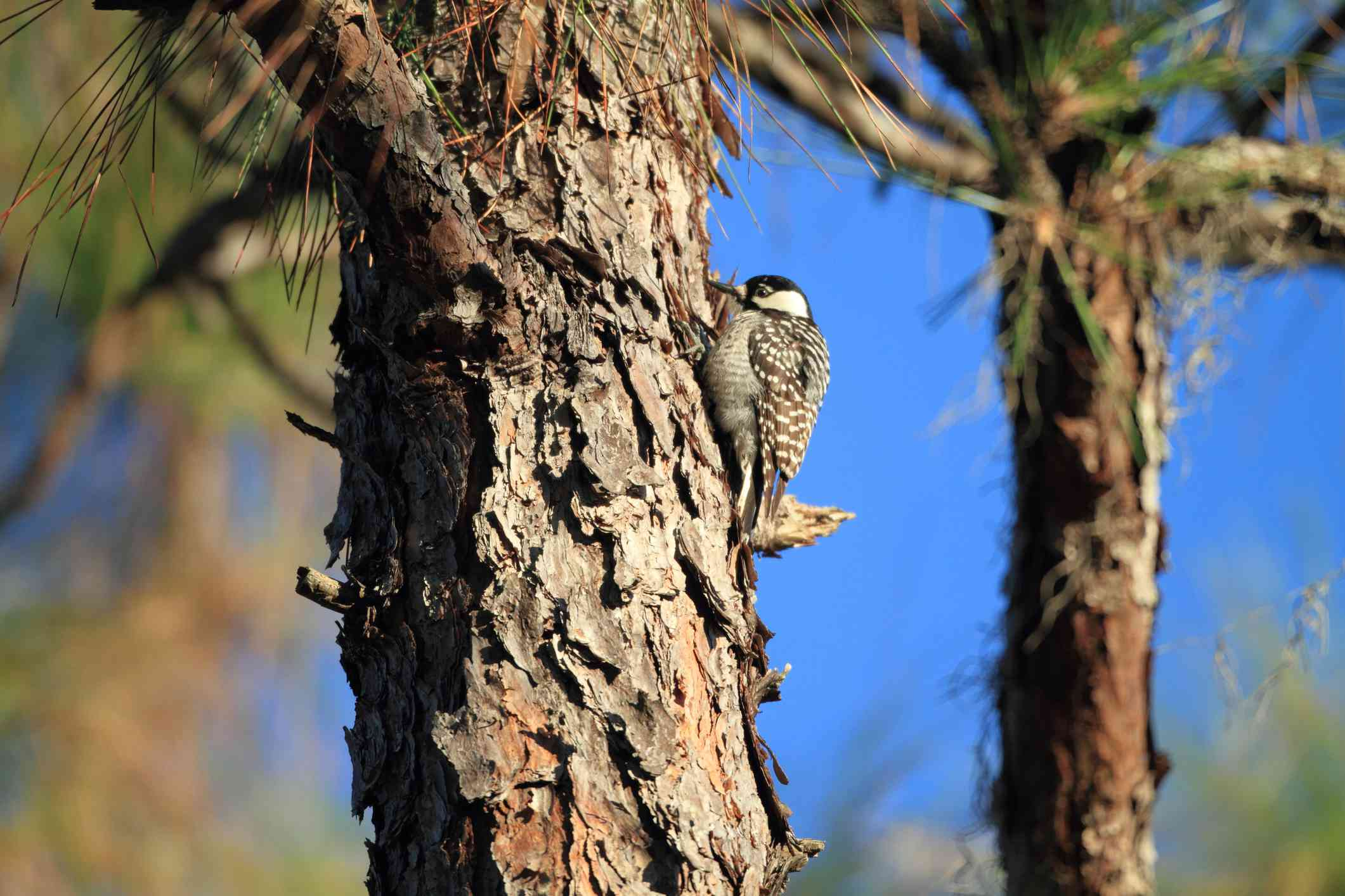 Red-cockaded woodpecker standing against a pine tree.