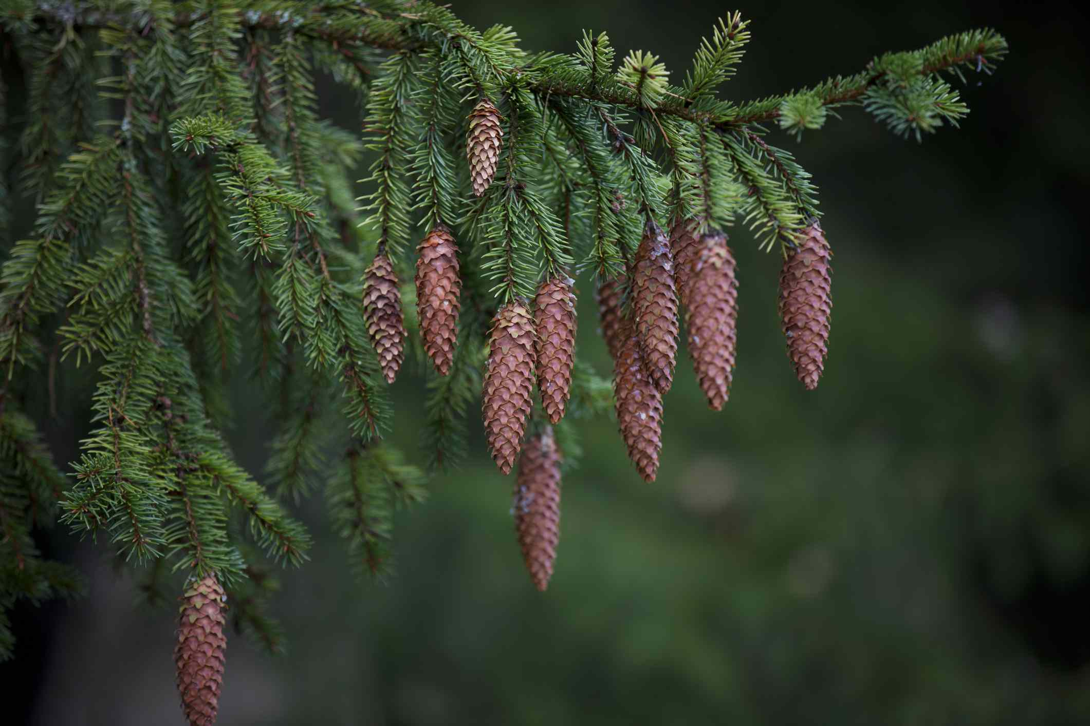 Spruce cones hanging off the branches of tree.