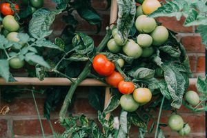 Ripe and green tomatoes growing on a vine against a brick wall