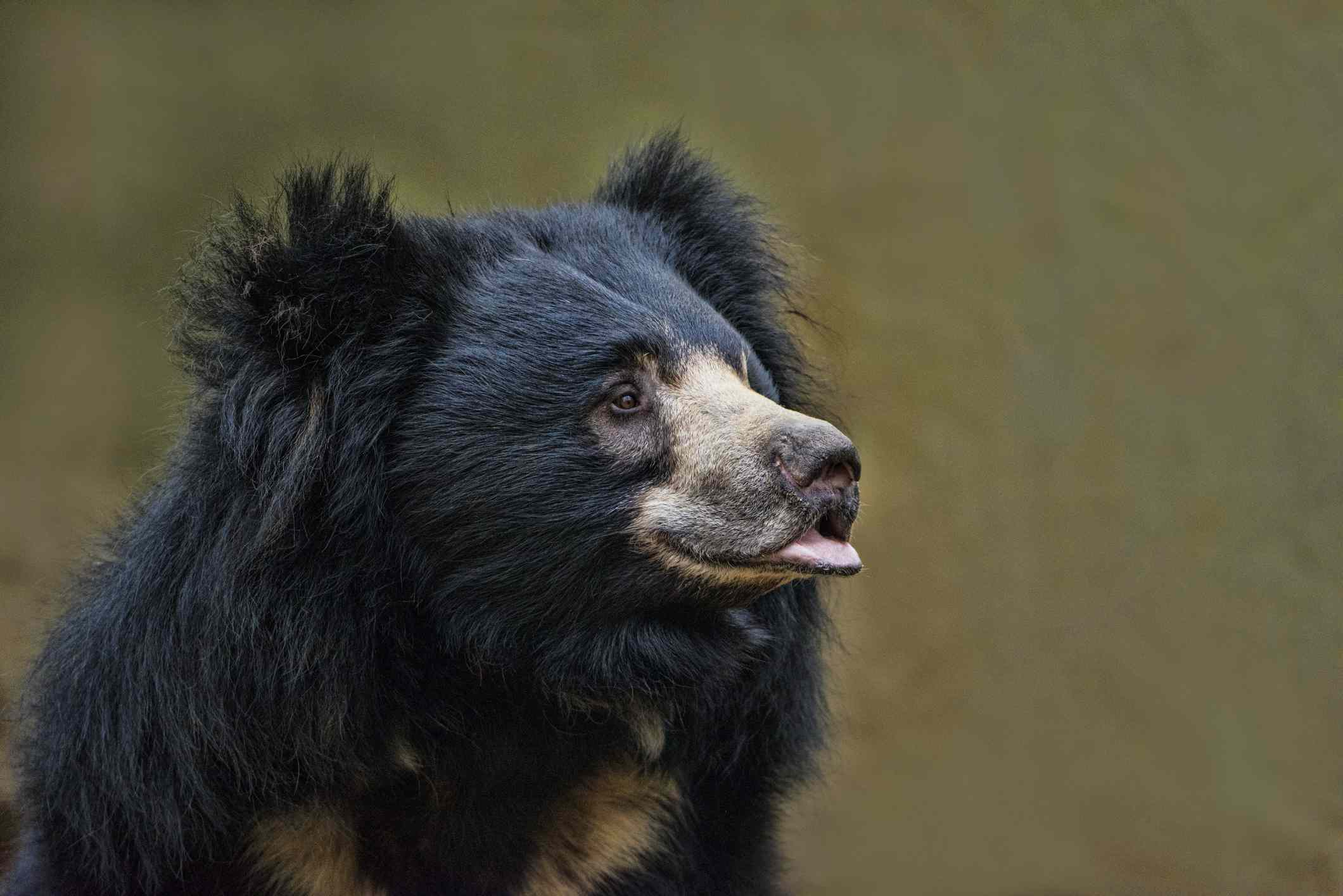 profile of black sloth bear with tan markings and lower lip jutting out