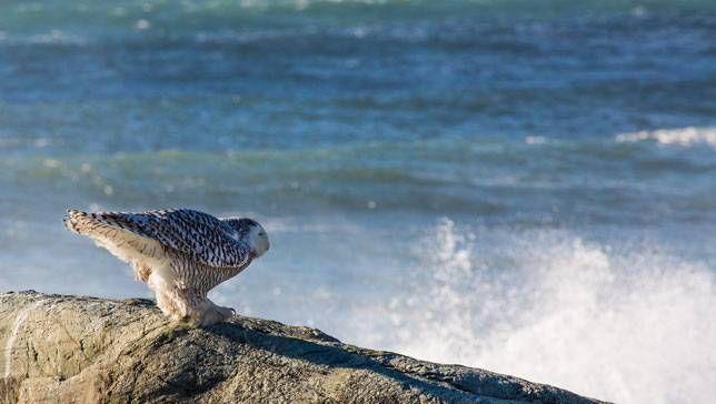 snowy owl hunting at ocean