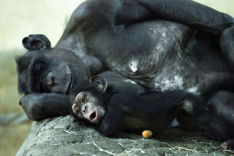Adult and baby chimp laying side by side.