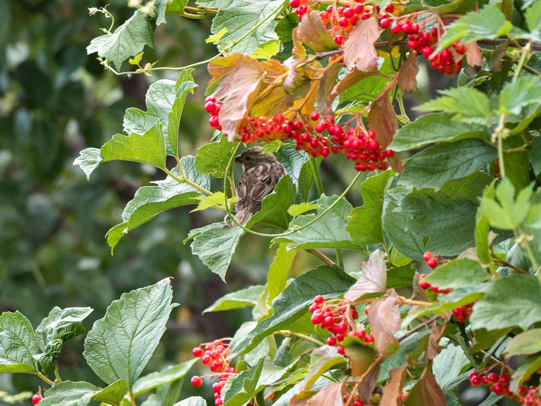 sparrow in a viburnum tree full of red berries