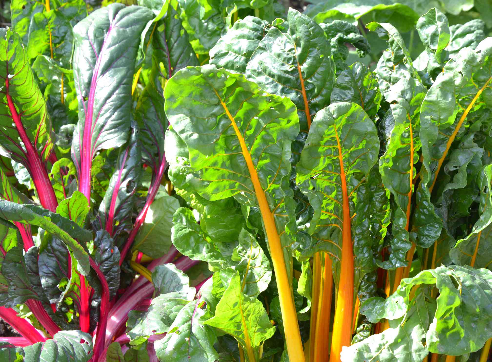 Swiss chard with purple and yellow stems in a garden