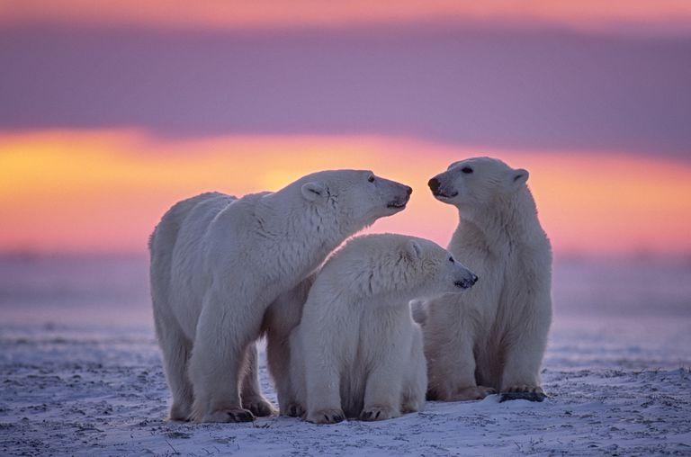 ¿Cuántos osos polares hay?