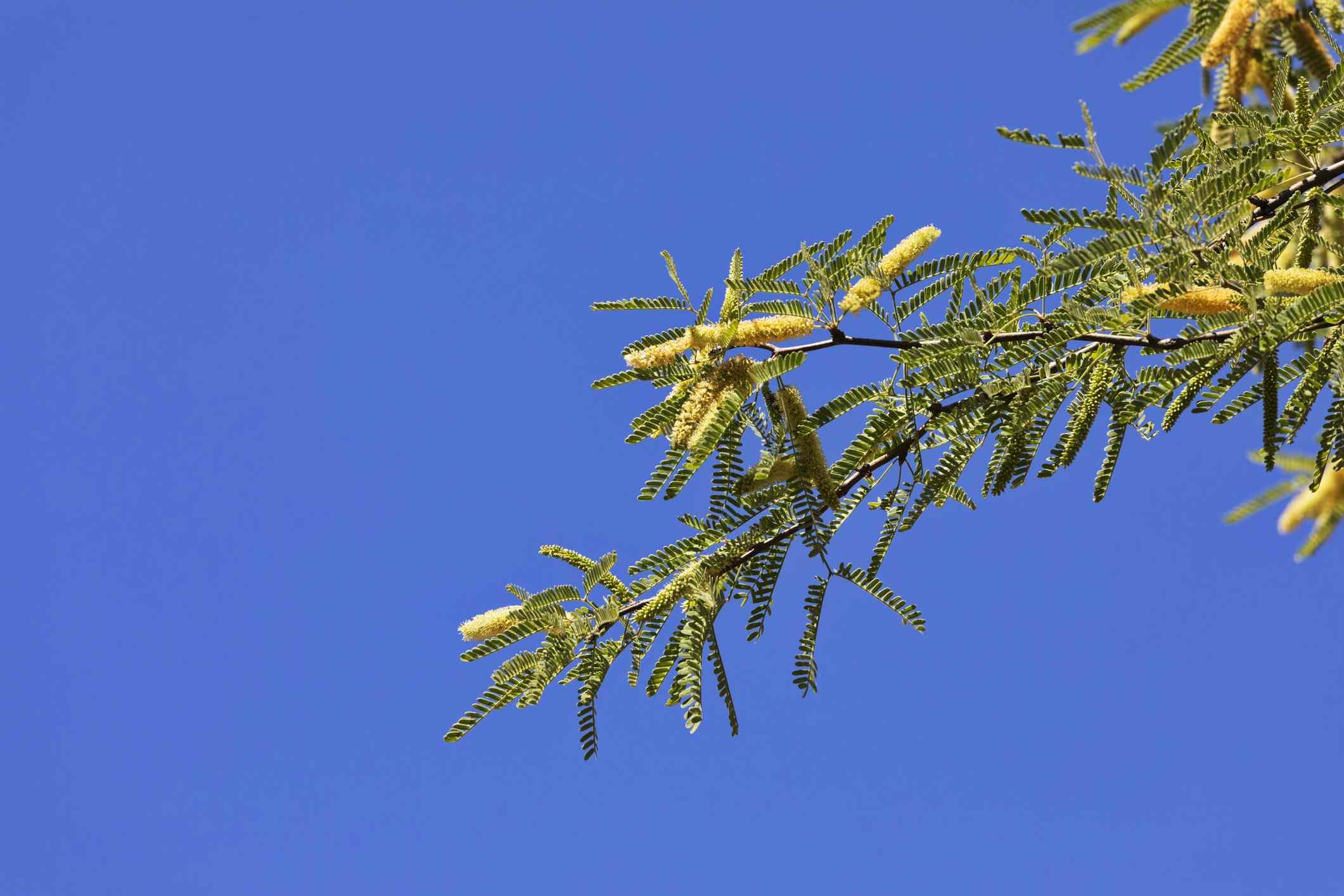 Arizona or Velvet Mesquite (Prosopis velutina )