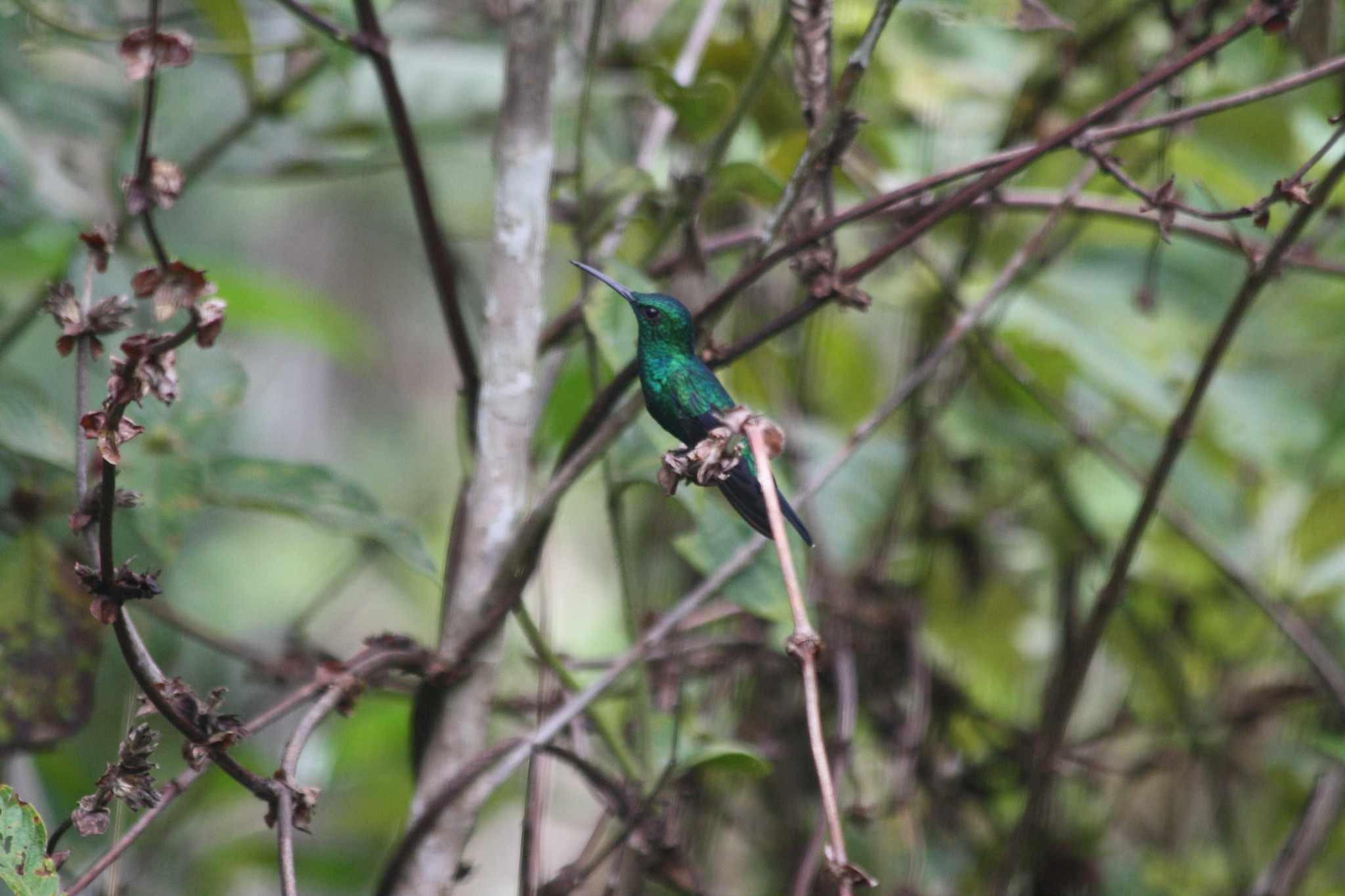 Green-throated mango perched on a branch