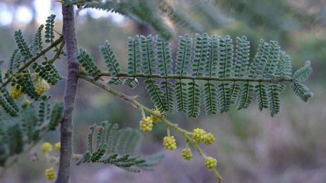 Mystery acacia leaves