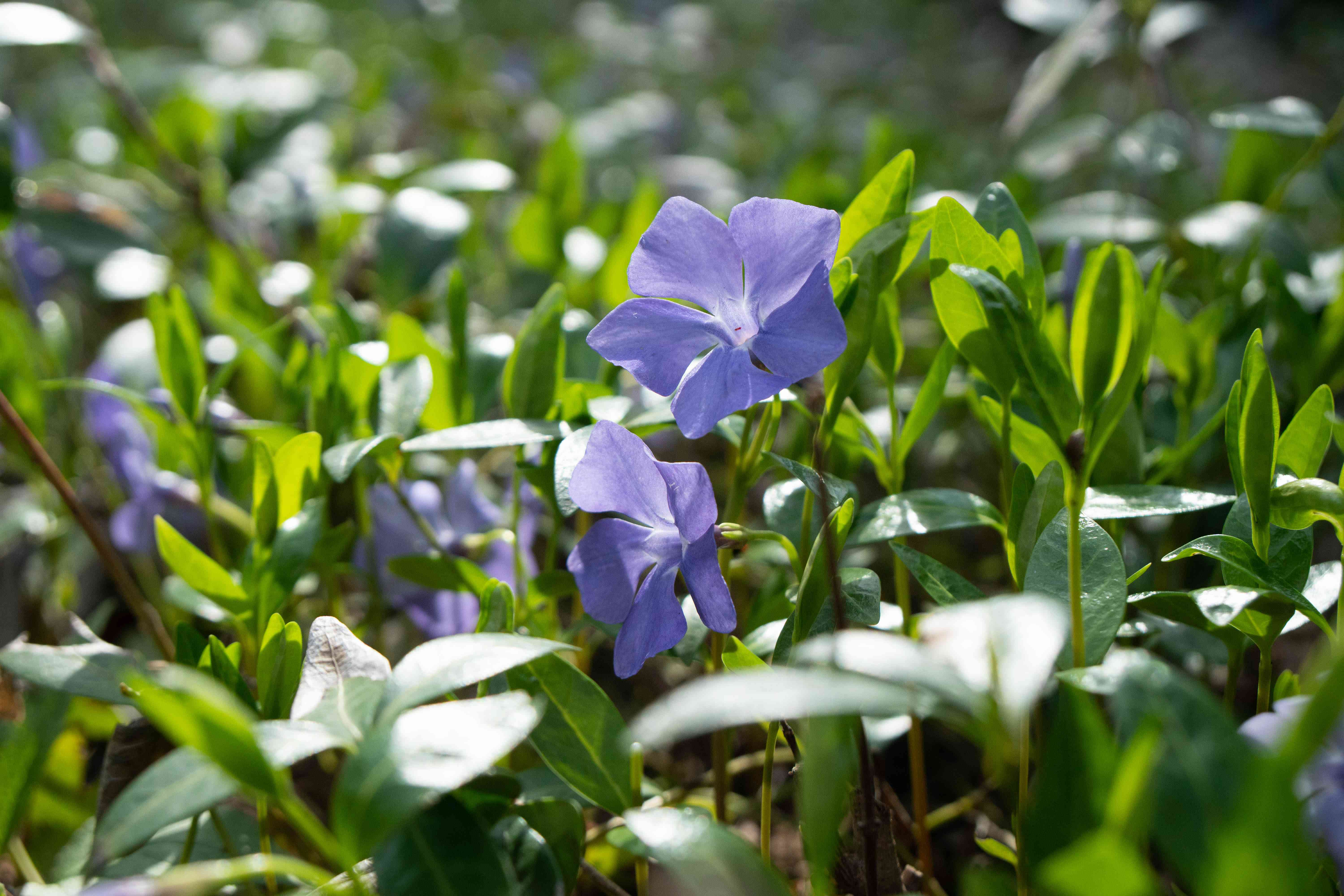 close shot of purple morning glory flowers in green grass