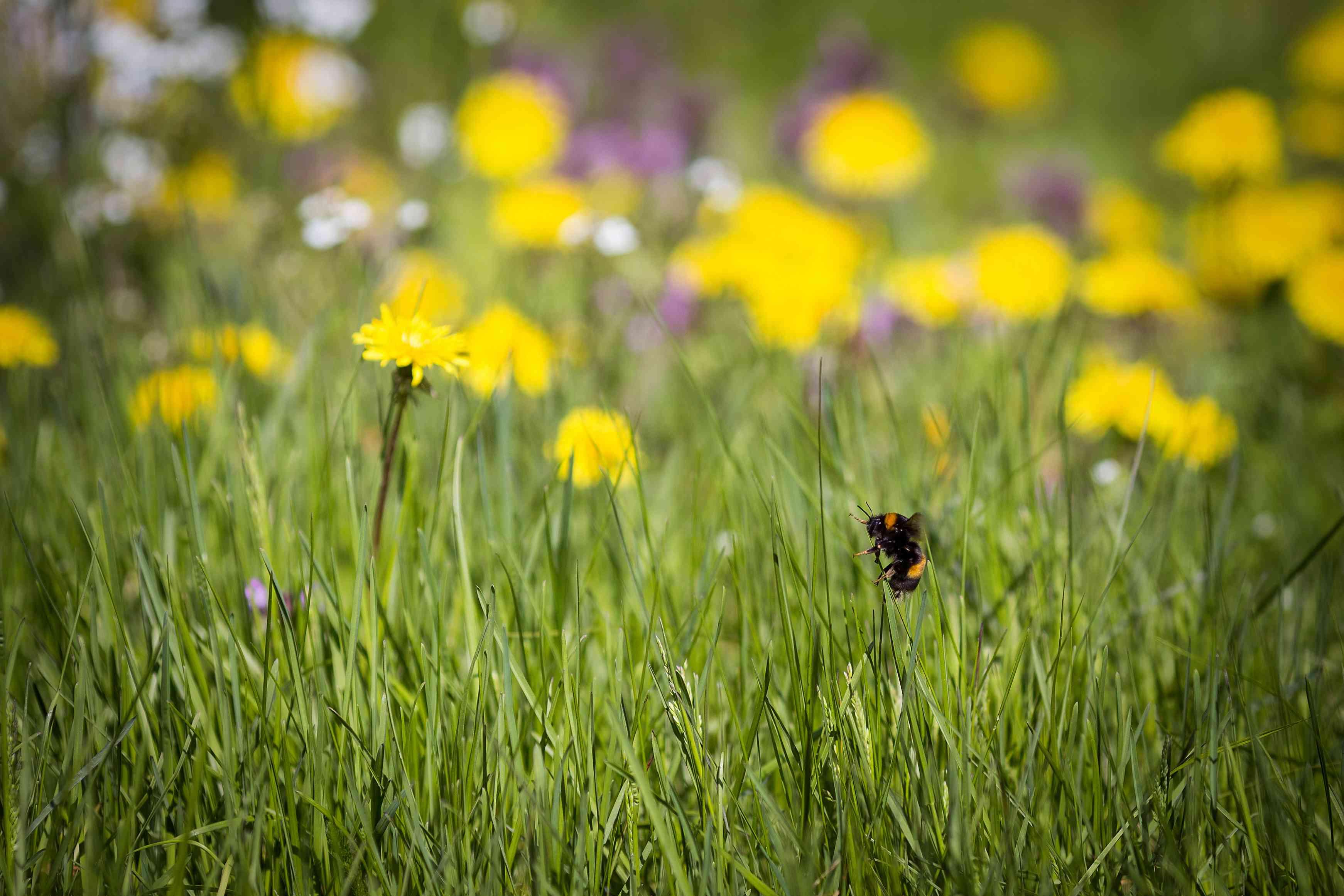 orange-belted bumblebee and dandelions