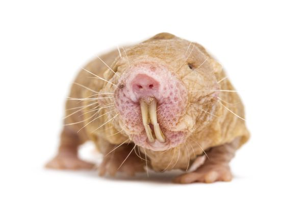 Front view of a Naked Mole-rat, hairless rat, isolated on wihte