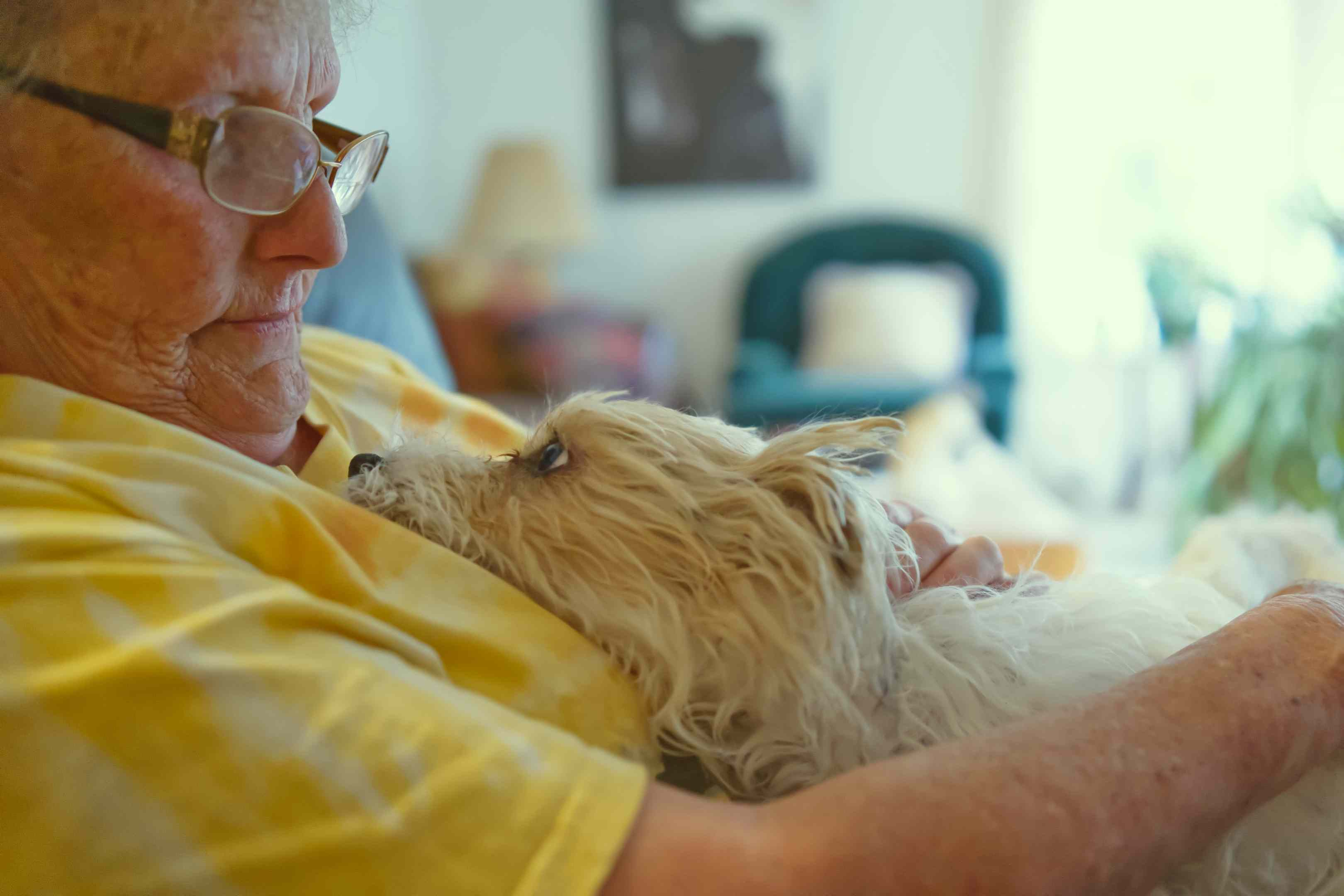 small white terrier dog gazes adoringly at their owner, older woman in yellow shirt