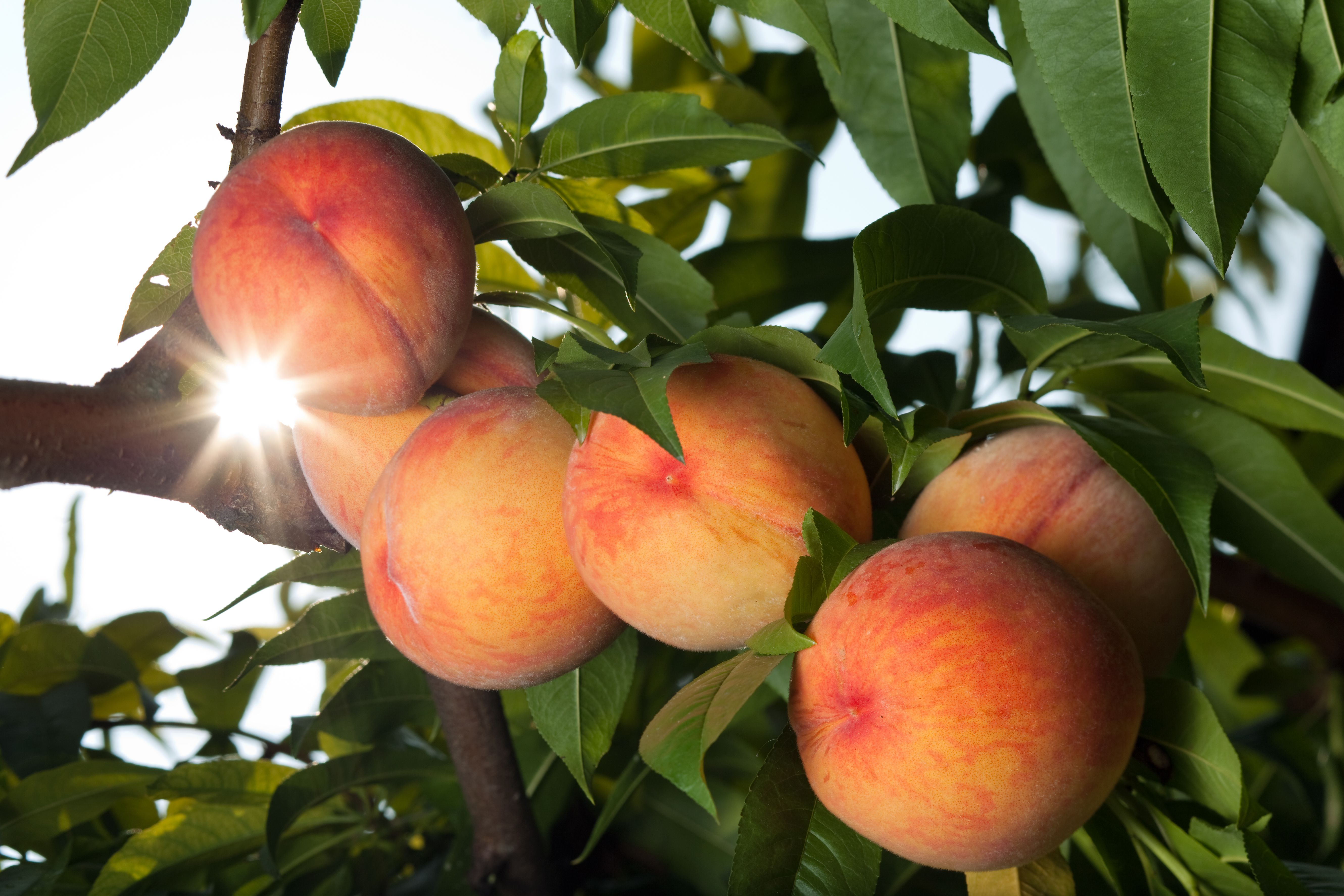 Juicy red peaches ripen on the tree