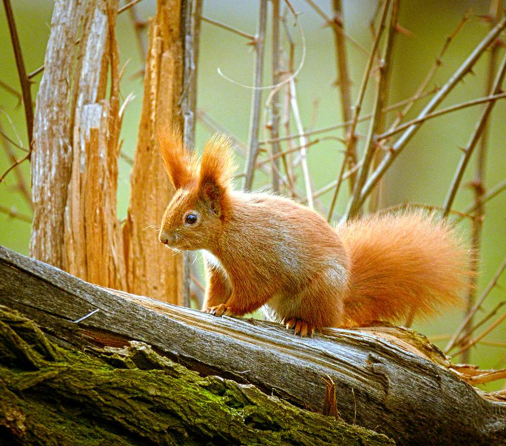 Eurasian red squirrel on a tree branch
