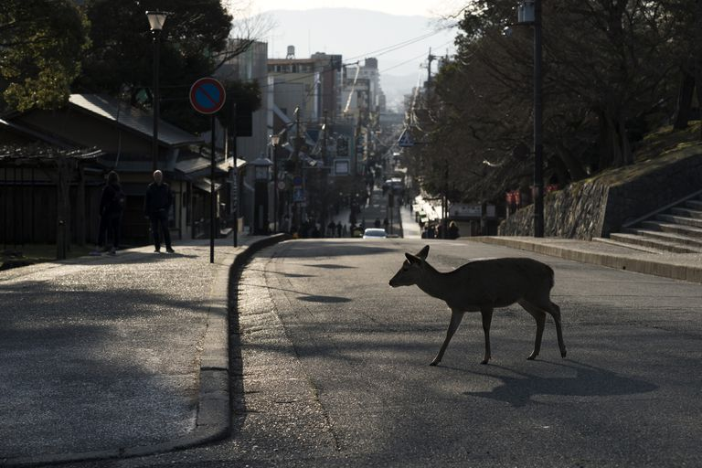sika deer crosses road in Nara Japan, animal sightings as humans in lockdown coronavirus