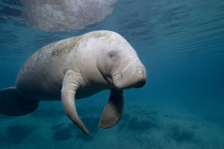 light gray manatee swims in dark blue waters with large flippers placed below body