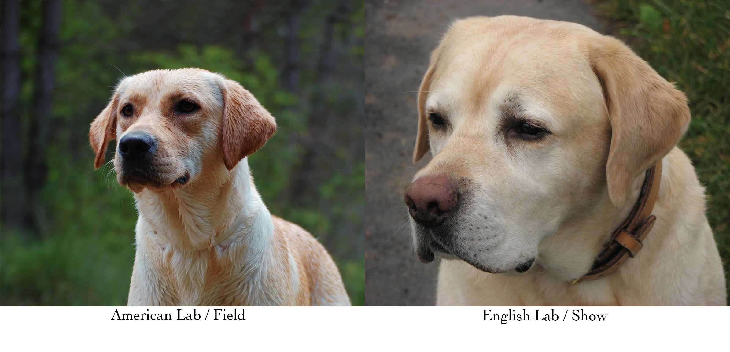 American Lab on the left with narrower face and slighter body. English lab on right with wider face and snout.